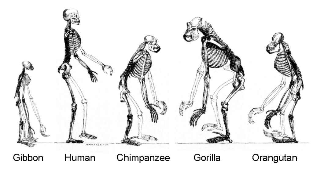Squelettes hominidés