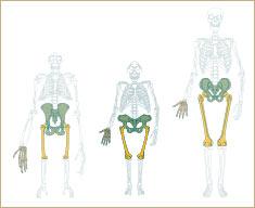 Comparaison des hanches de différents hominidés