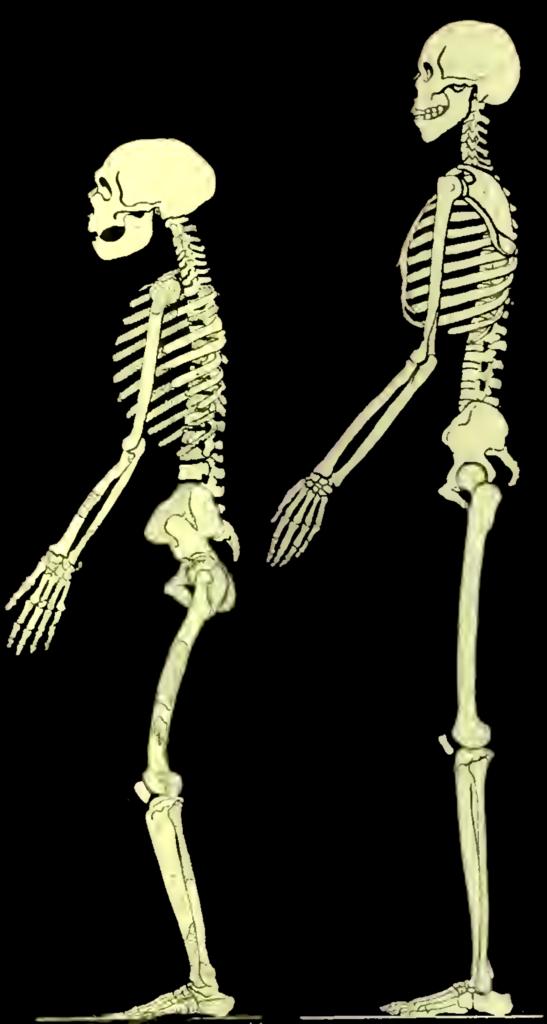 Comparaison d'un squelette de Neandertal et d'un squelette d'Homme