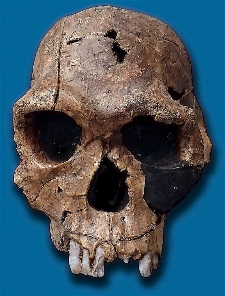 Crâne d'Homo Habilis