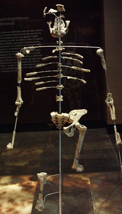 Squelette d'australopithèque