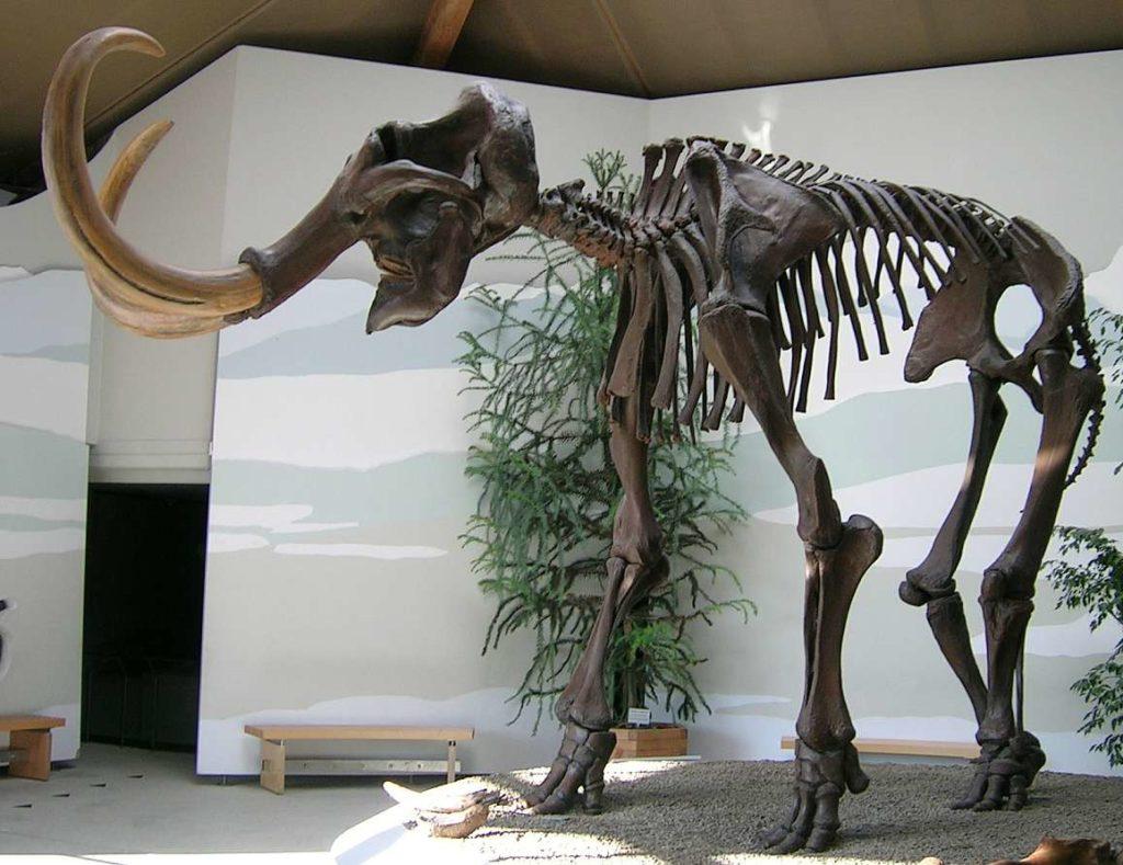 Squelette de Mammouth