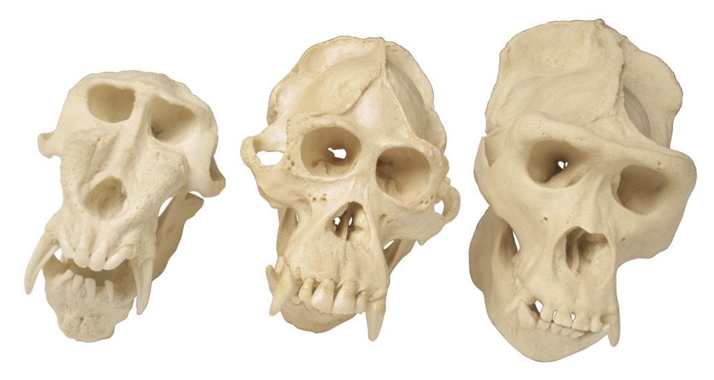 Crânes d'Homininés